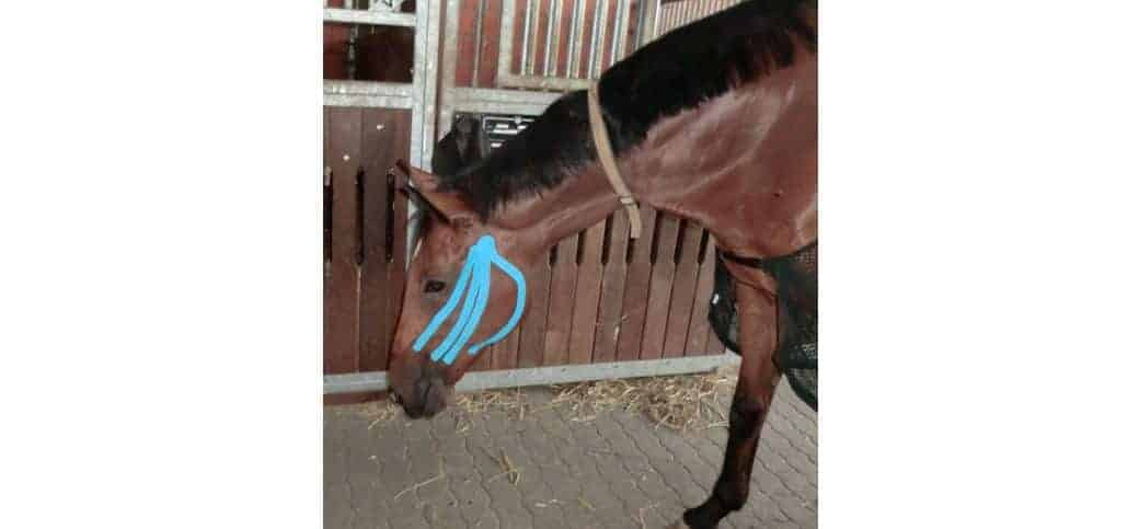 Braunes Pferd mit blauem Tape auf Wange